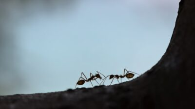 Mengusir Semut dari Rumah dengan Memanfaatkan Bahan-bahan Alami